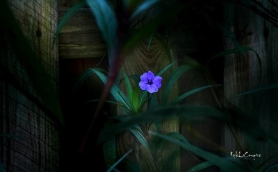 lonely petunia