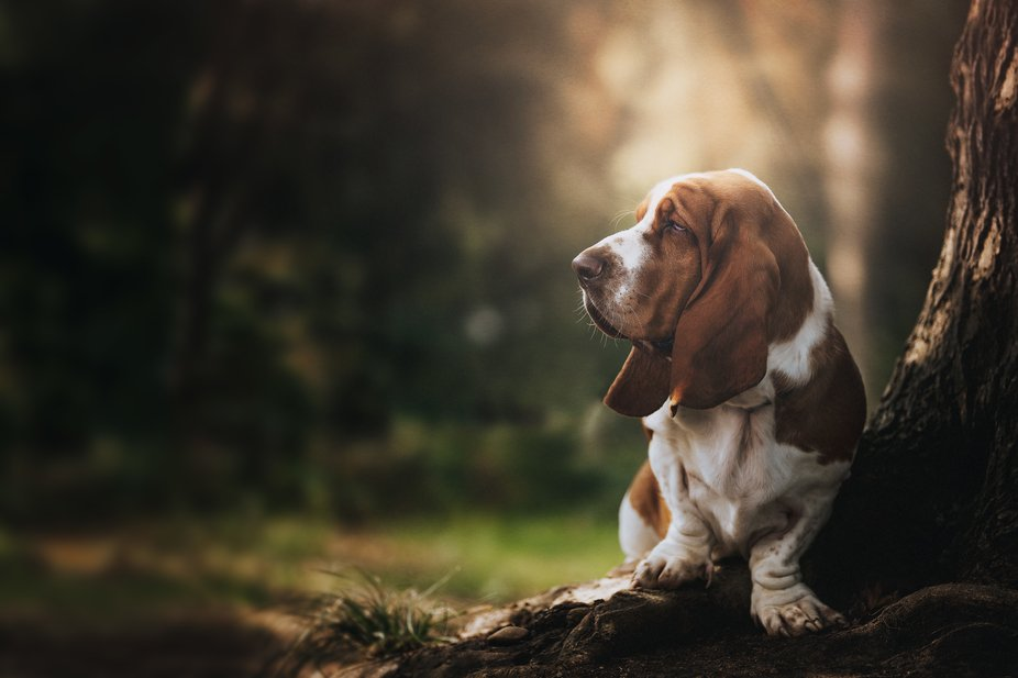 Portrait of Juul, a Basset Hound from the Netherlands