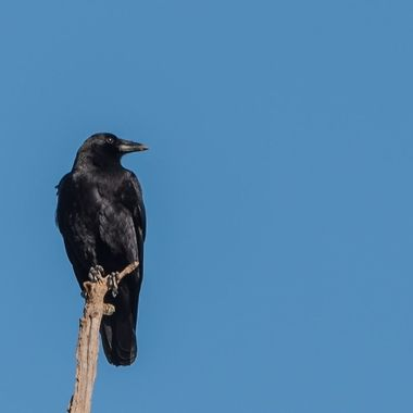 Lone American Crow at the very top of the tallest tree in the field.