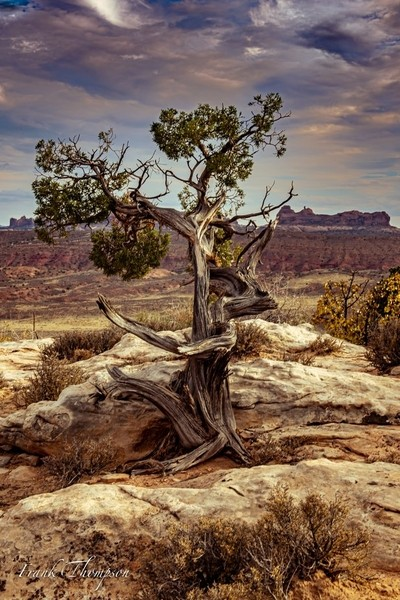 Lone tree in Arches NP