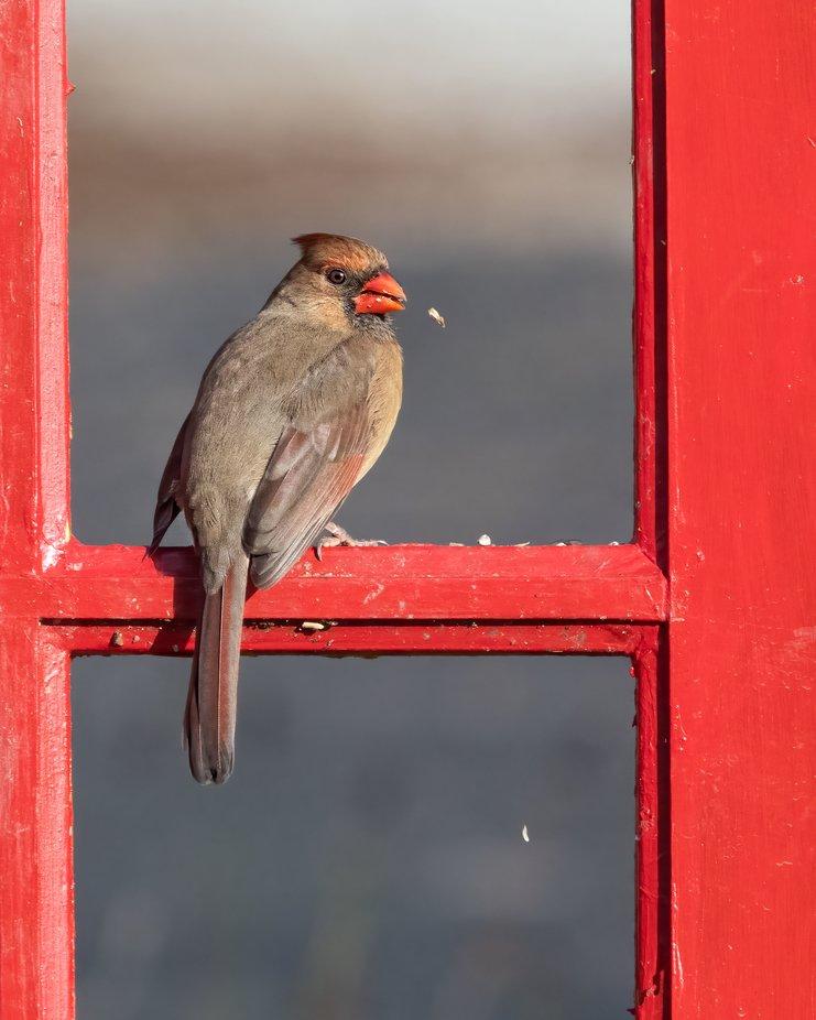 Cardinal on Red Door