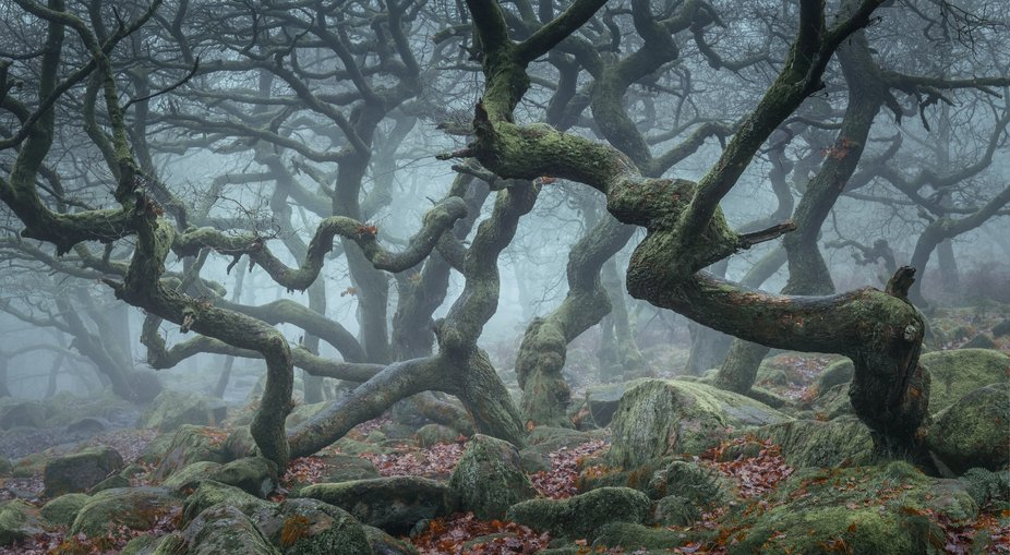 Twisted oaks at Padley Gorge, Peak District, UK