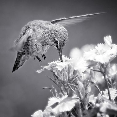 The hummingbirds wings are at high speed while it hovers over the flowers in our garden.