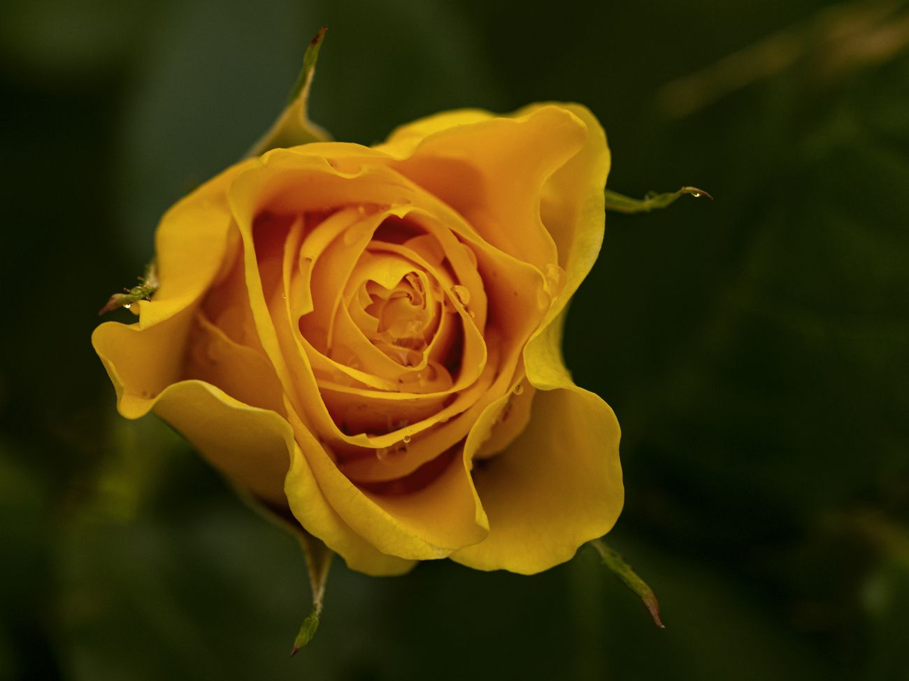 so finally got a decent yellow rose shot  after trying lots of different setting and outdoor lighting conditions, I am happy with this one as I feel it captures the essence of a yellow rose