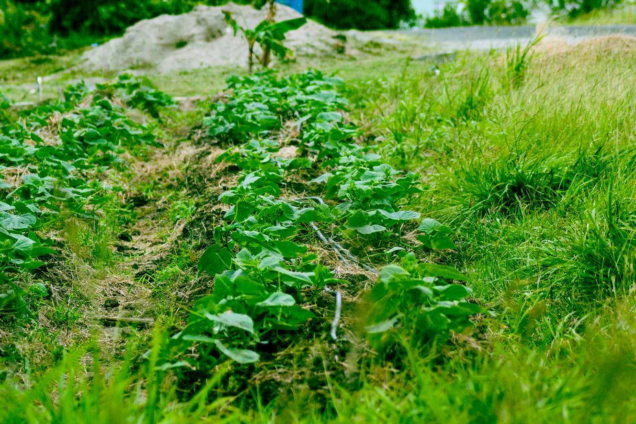 A row of cucumbers in growth stage. Canon eos digital 550D.