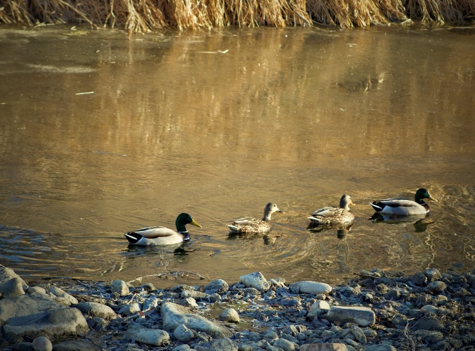 Ducks on the Big Thompson River