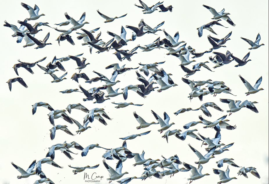 Canadian and Snow geese take off from the rice fields near Colusa California
