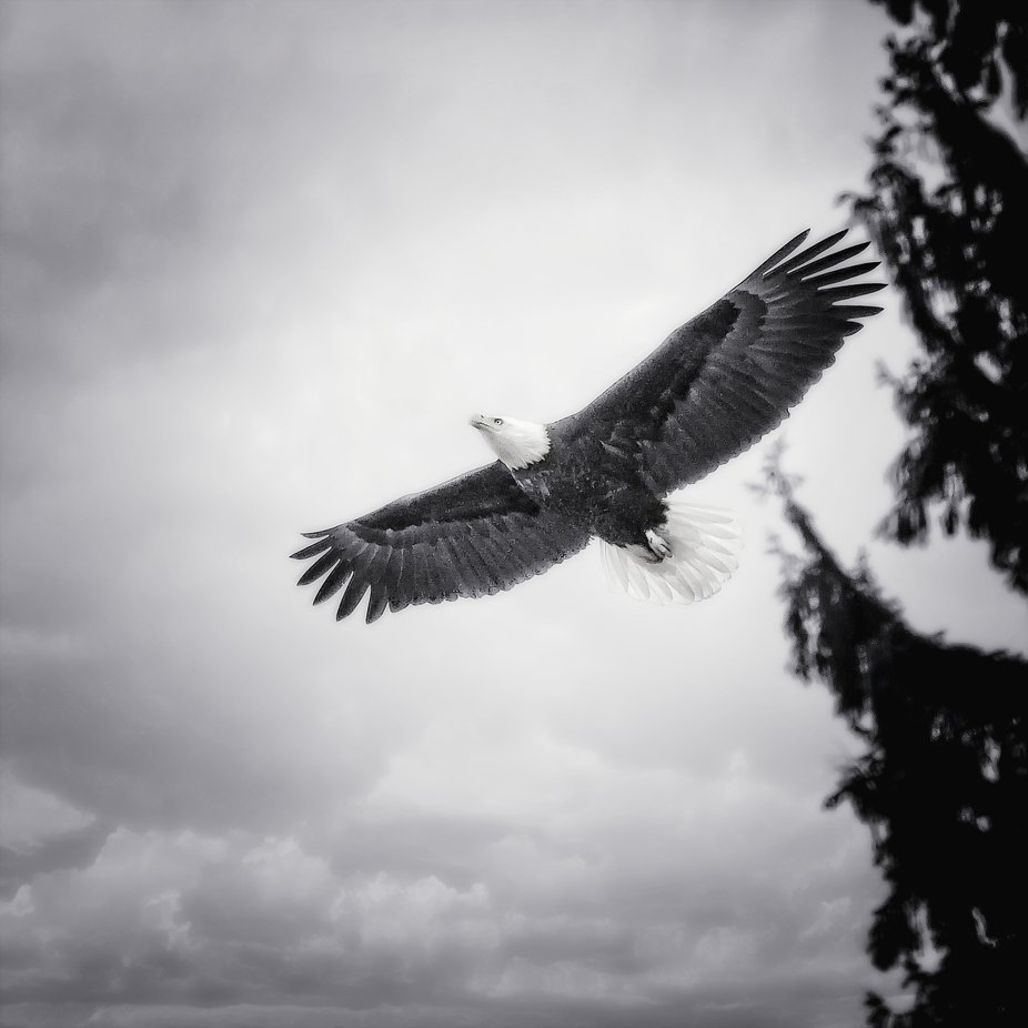 A Bald Eagle soars above the tide flats of Fir Island in the Skagit Valley of Washington.