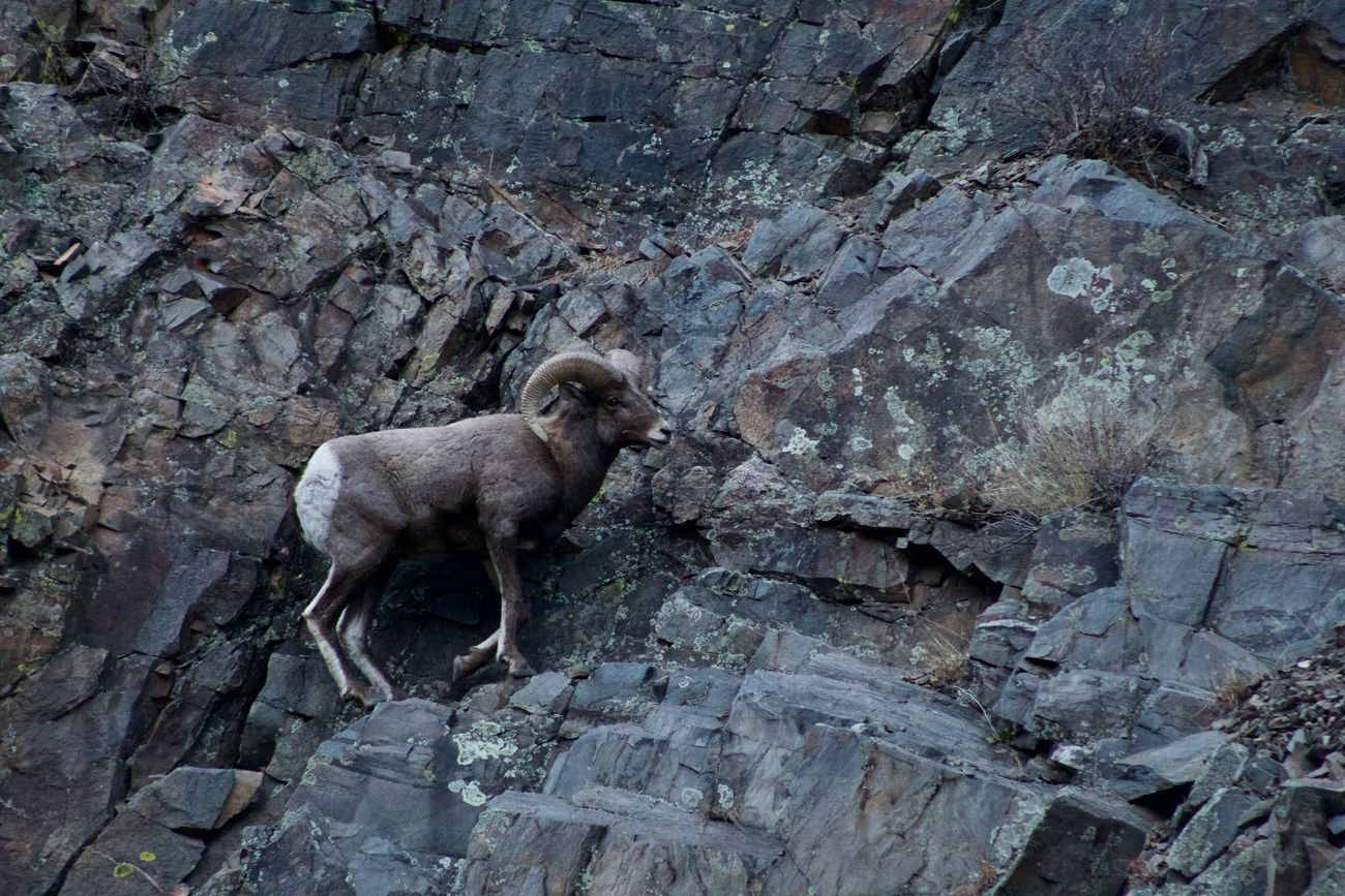A large big horn sheep in Big Thompson Canyon in Colorado