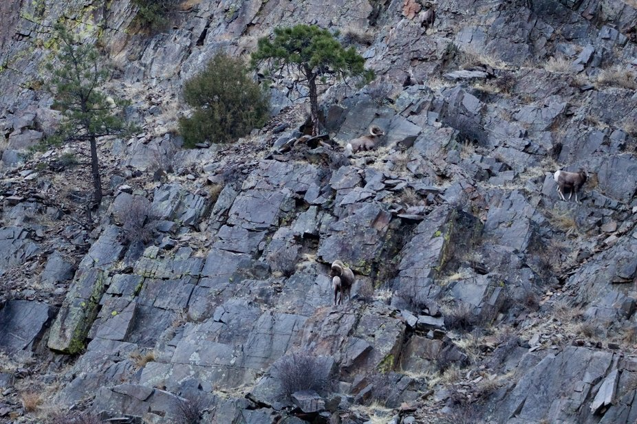 How many Big Horn Sheep can you find?