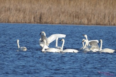 Tundra Swans wings out