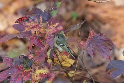ruby crowned kinglet in the fall leaves