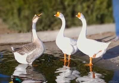 Conference of the Geese