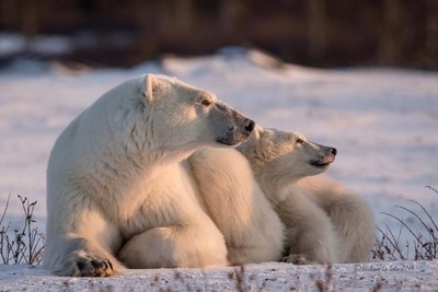 Momma and cub Polar Bear soaking up the last rays of the day.