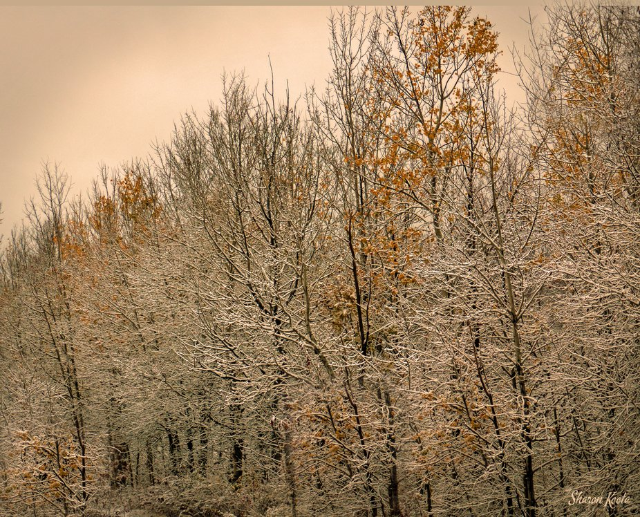 The first snowfall in October arrived before the Poplars had lost all their autumn color.