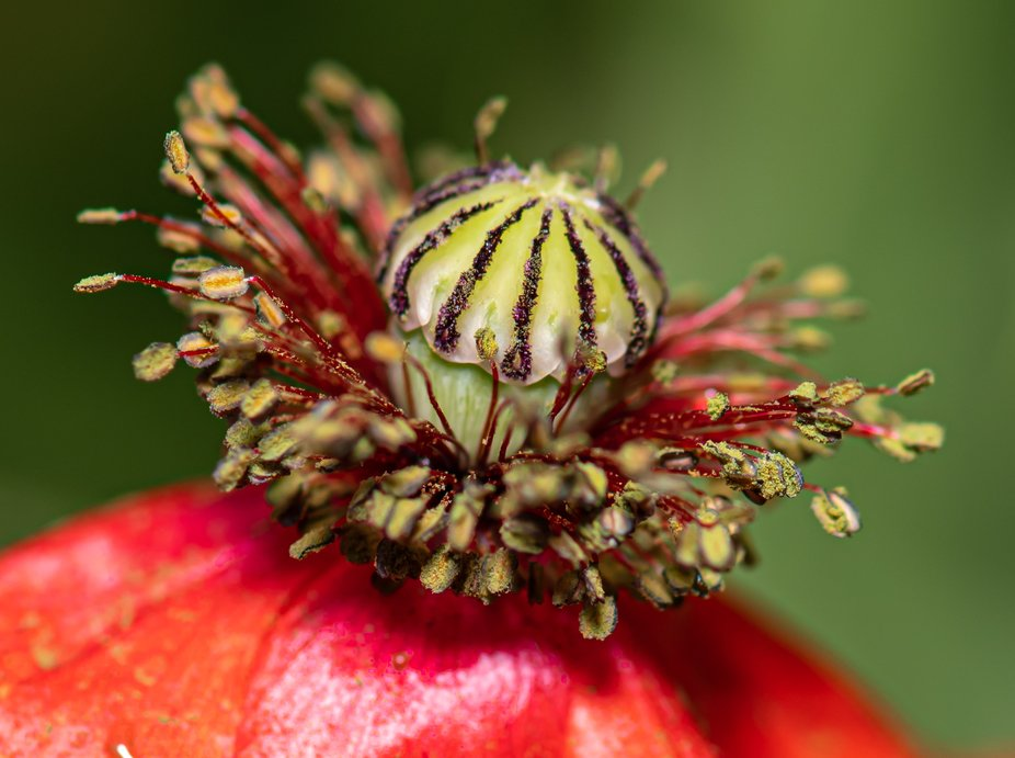 Macro image of a poppy
