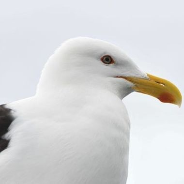 William the Black Backed Gull
