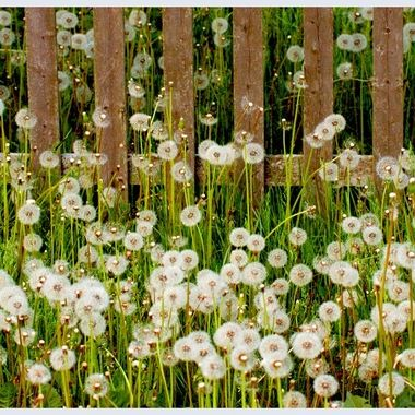 Dandelions and Fence