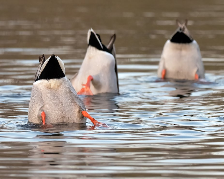 Ducking!
