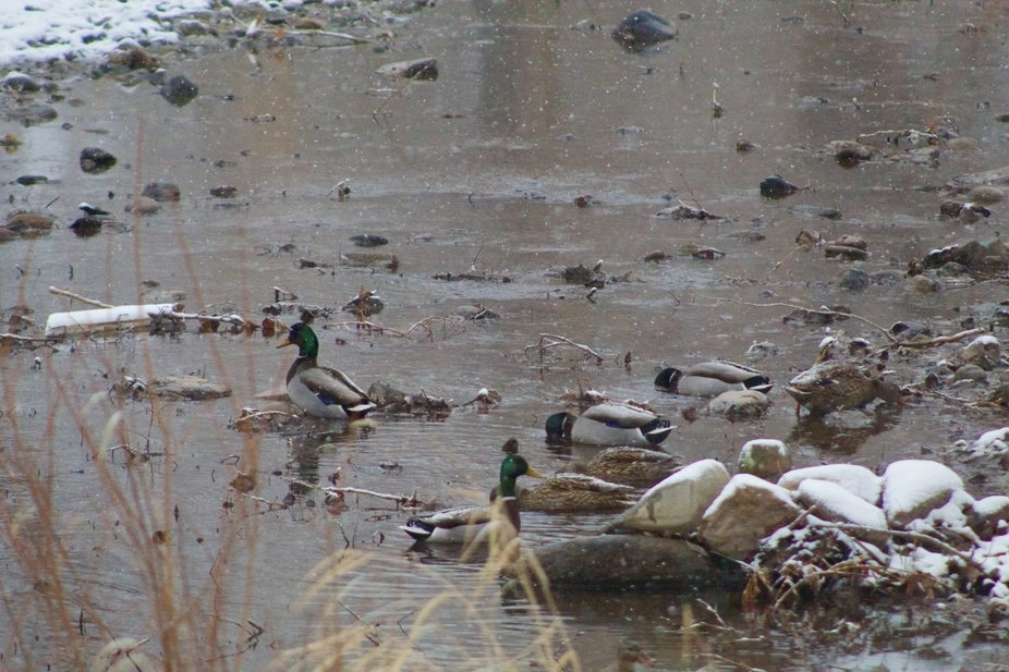 A group of mallard ducks on the Big Thompson River