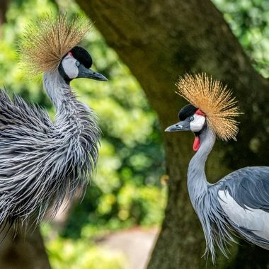 Beautiful plumage on the African Crowned Crane
