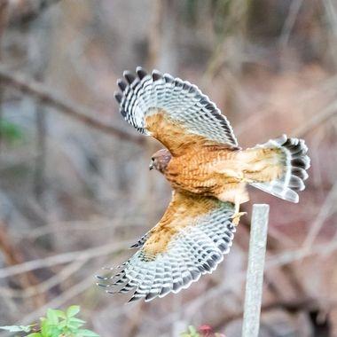 Mature Red-shouldered hawk  DSC_2523
