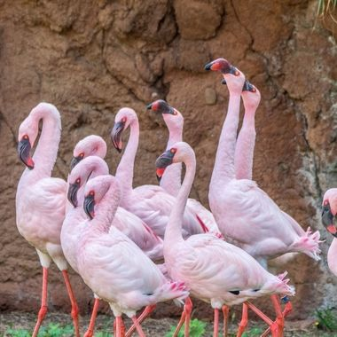 A flamboyance of beautiful pink Flamingos
