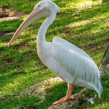 A Huge White Pelican