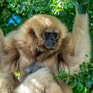 A large lazy Gibbon on recon.