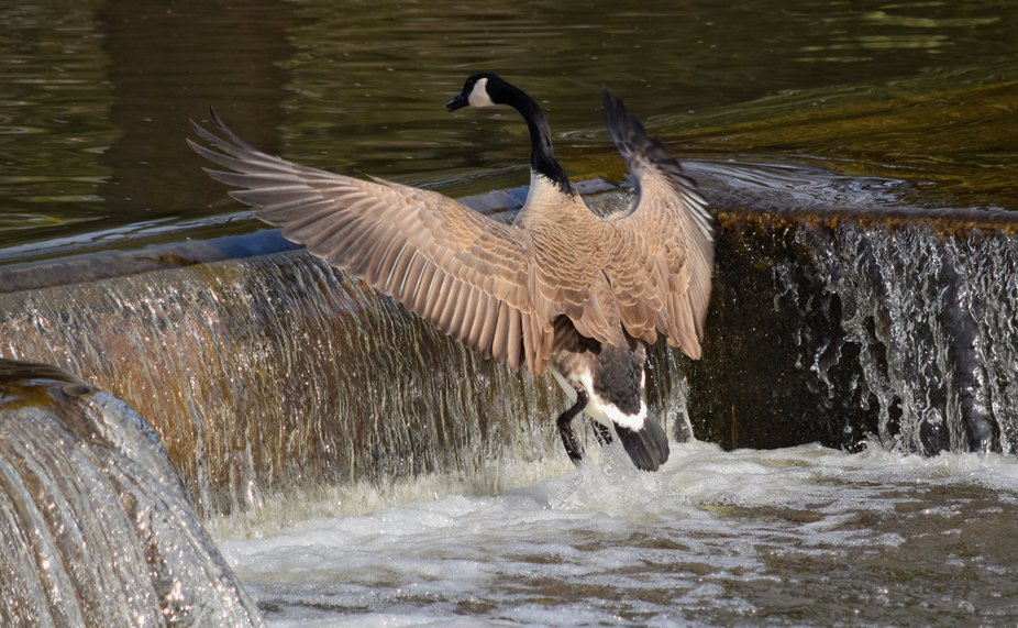 A Canada Goose lifts off for a short flight to the upper level of the Speed River in Riverside Pa...