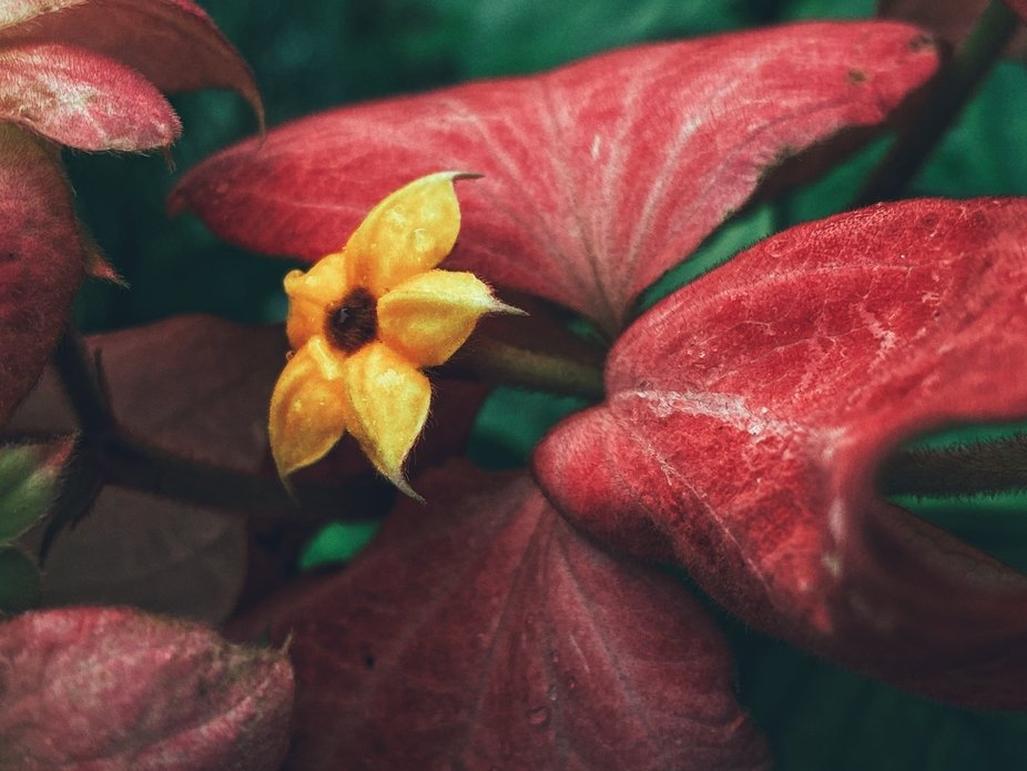 Yellow flower on background of red and green leaves.