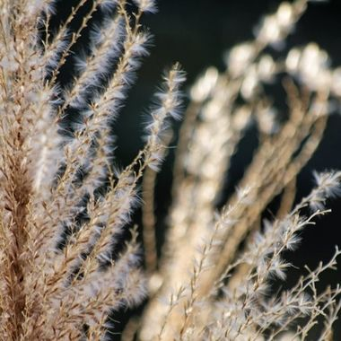 Backlit dried fountain grass.