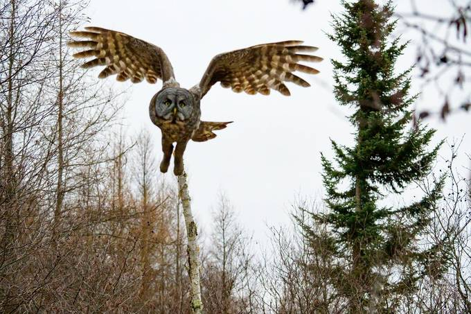 Close encounter with a Great Grey Owl. The perch broke as it jumped off which meant it came a little closer than either one of us had planned!