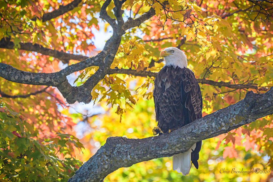 Bald Eagle under a canopy of fall leaves.