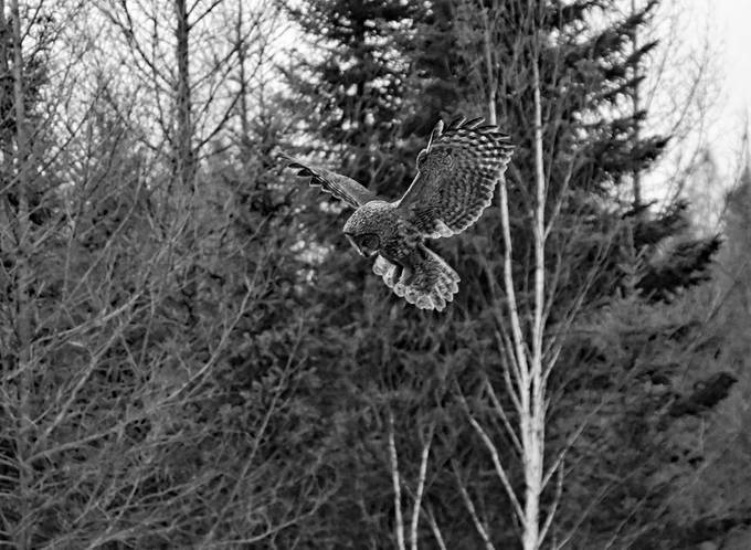 Great Grey Nearly stopped in midair just before the deadly drop onto it's victim