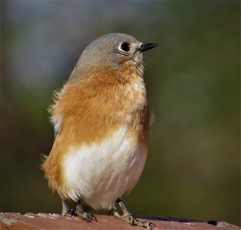 Mama Bluebird