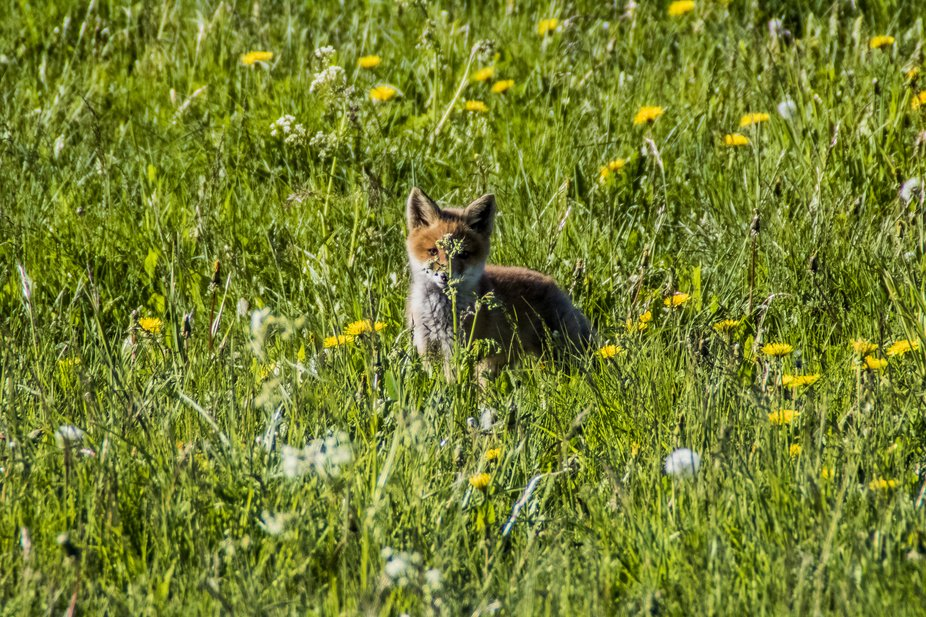 The red fox lived with the puppies for a short time near my house in the spring and then I went t...
