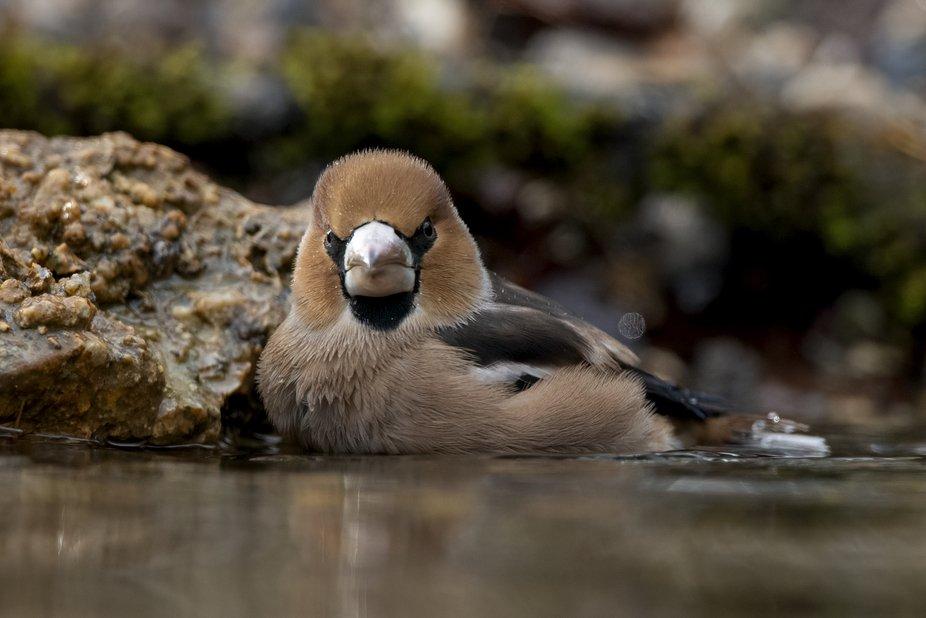Hawfinch, water