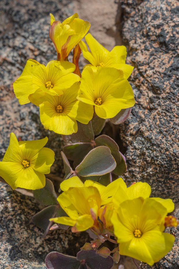 Flor en el Desierto