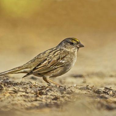 Golden-crowned Sparrow DSC03131