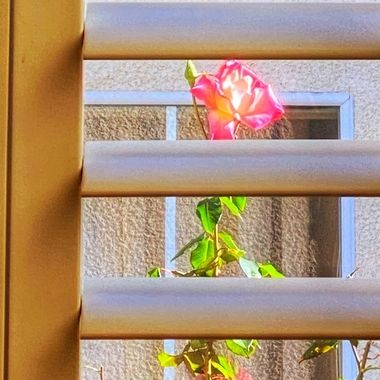 Pretty rose peeking through our window!