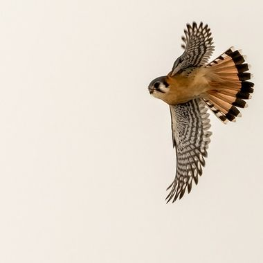 This American Kestrel was on its last hunt in the late afternoon against a cold overcast sky.  DSC_2601-DeNoiseAI-clear-2