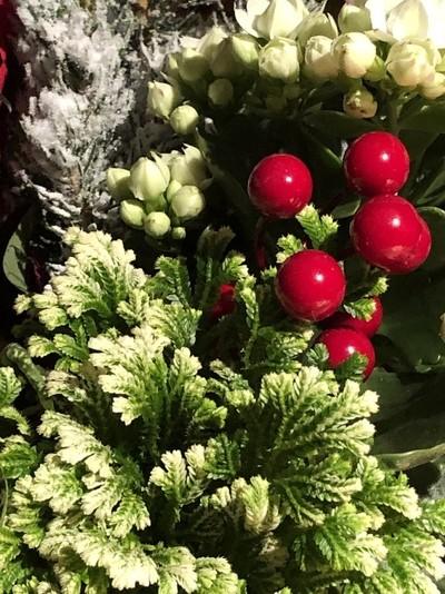 Poinsettia Berries