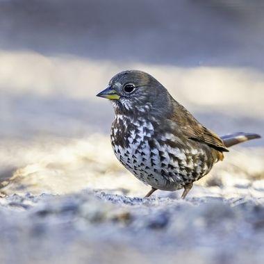 Fox Sparrow DSC01935-1
