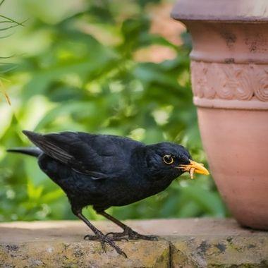 Black Bird male in the Garden
