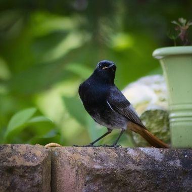 Redstart in our garden