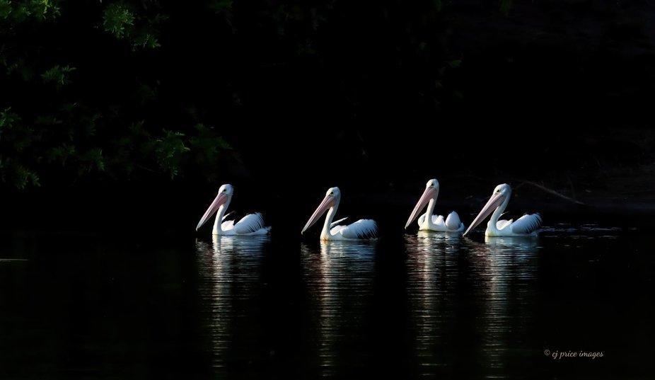cj price images  Pelicans Urangan,  Queensland