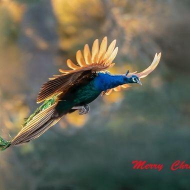 Peacock DSC03287