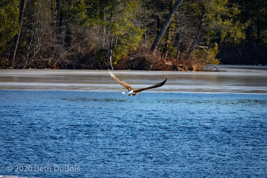 eagle flying away from otter pair