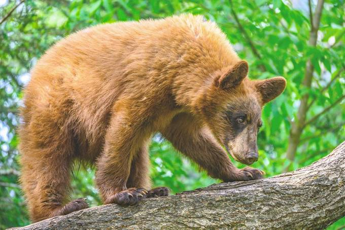 Young bear trying too find a comfortable place for a nap